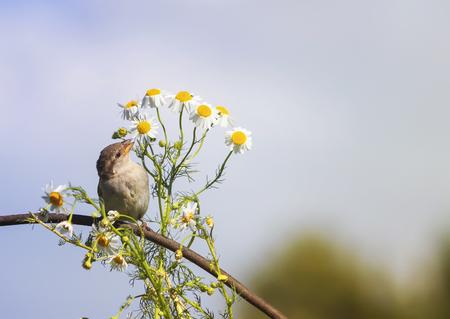 Een vogel een Sparrow sniffs de bloemen zijn witte madeliefjes in de zomer Stockfoto