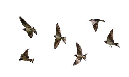 Molti uccelli rustici rondini neri che svolazzano ali su sfondo bianco isolato