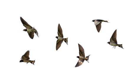 many birds rustic black swallows fluttering wings on white isolated background Standard-Bild