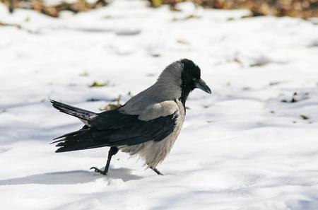 Vogelkapjes kraaien sterke tempo rond de diepe witte sneeuw Stockfoto