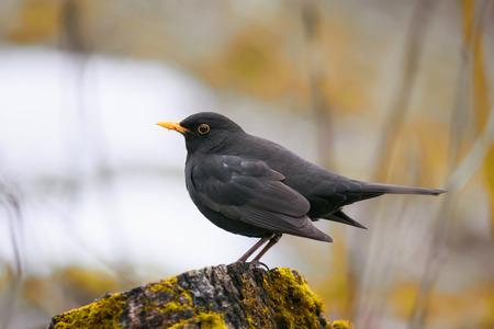 Blackbird stands on a green wooden stump in spring Park