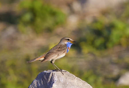 beautiful bird with bright blue feathers stands on a stone and sings