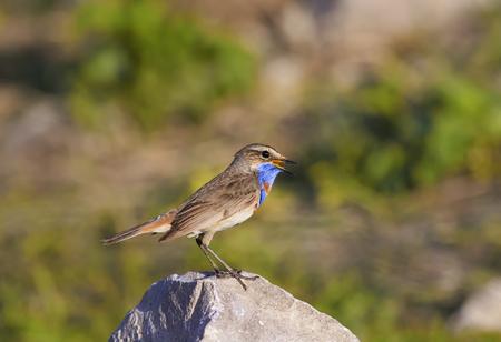 Wunderschöner Vogel mit leuchtend blauen Federn steht auf einem Stein und singt
