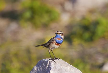 Portret heldere vogels Bluethroat ligt op de steen Stockfoto