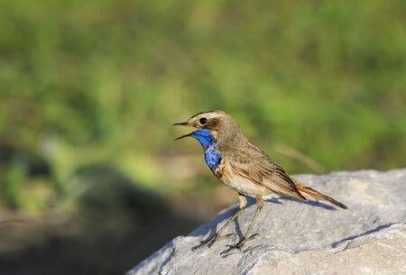 bright blue bird with beautiful feathers stands on a stone and sings in the spring