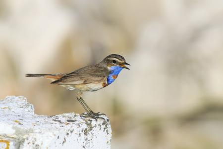 Lustiger Vogel mit leuchtend blauen Federn steht auf einem Stein und singt im Frühling