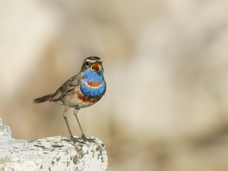 funny bird with bright blue feathers stands on a stone and sings in the spring Stockfoto