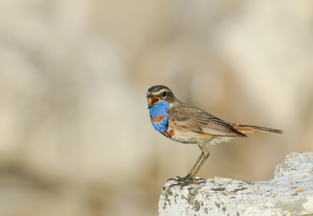 Ein wunderschöner Vogel mit leuchtend blauen Federn steht auf einem Stein und singt im Frühling
