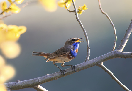 a blue bird sings in the spring garden on a blossoming tree branch