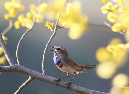 Een blauwe vogel zingt in de lentetuin op een bloeiende boomtak Stockfoto