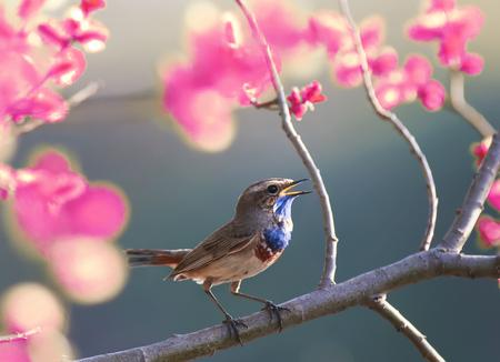Ein blauer Vogel singt im Frühjahr Garten blüht rosa auf einem Ast Lizenzfreie Bilder