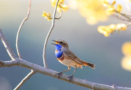 Ein blauer Vogel singt im Frühjahr Garten blühenden gelben Baum Zweig