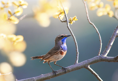 portrait of the Bluethroat bird is in the spring garden on a blossoming tree branch Stockfoto