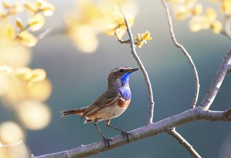 portrait of the Bluethroat bird is in the spring garden on a blossoming tree branch Lizenzfreie Bilder