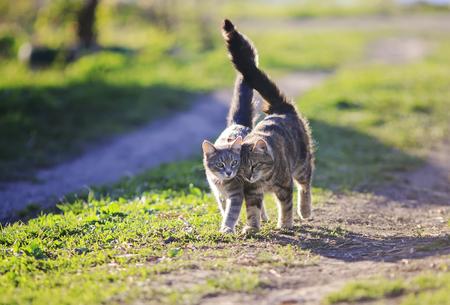 twee schattige kat lopen arm in arm door de zonnige groene weide Stockfoto