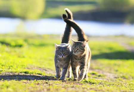 two cute striped kitten walking together in an embrace on a green meadow and holding up the tails on a Sunny summer day Stockfoto