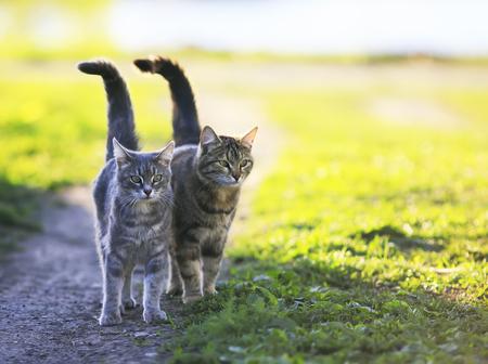 Zwei niedlichen gestreiften Kätzchen gehen Arm in Arm auf einer grünen Wiese und halten die Schwänze an einem sonnigen Sommertag Lizenzfreie Bilder