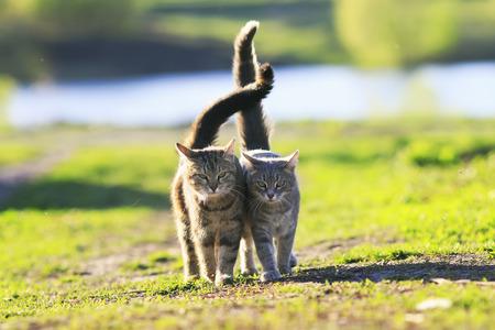 Twee schattige gestreepte kitten lopen arm in arm op een groene weide en houden de staarten op een zonnige zomerdag