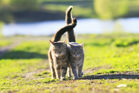 two cute striped kitten walking arm in arm on a green meadow and holding up the tails on a Sunny summer day
