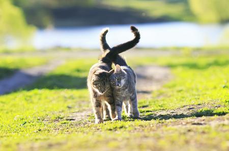 two cute striped kitten walking arm in arm on the green meadow in Sunny summer day Standard-Bild