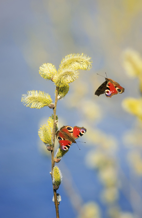 two beautiful butterflies fly and collect nectar in the spring with fluffy willow branches