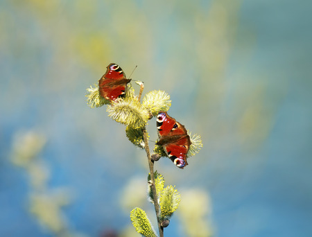 a pair of beautiful butterflies collect nectar in the spring with fluffy willow branches