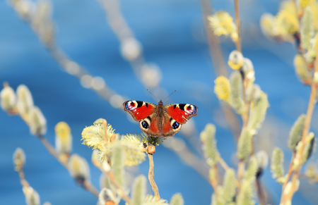 a beautiful butterfly peacock collect nectar in the spring with fluffy willow branches