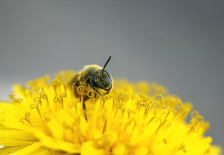 a small black bee gathers nectar from yellow flower of dandelion