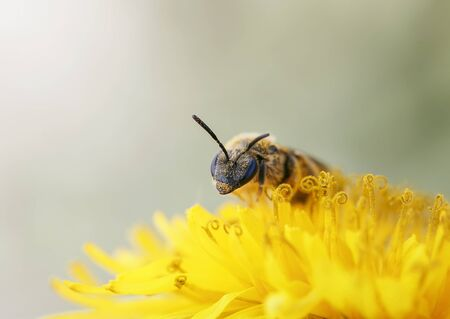 little honey bee gathers nectar from yellow flower of dandelion