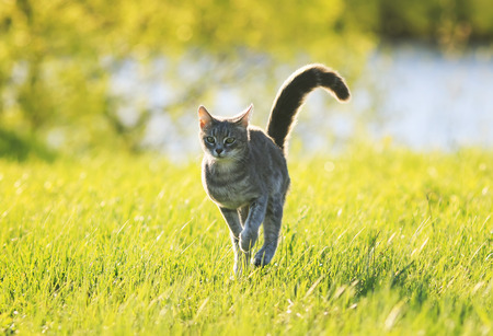 sweet tabby cat fun running on green meadow in Sunny summer day