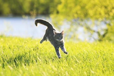 Süße Tabby Katze Spaß läuft auf grüne Wiese in sonnigen Sommertag