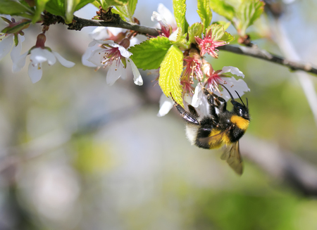 hairy black bumblebee collects nectar from cherry blossoms in spring Lizenzfreie Bilder