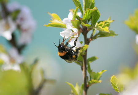 Haarige schwarze Hummel sammelt im Frühjahr Nektar aus Kirschblüten