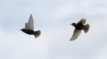 two starlings fly across the sky wings widely waving