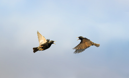 two starlings flying in the sky flapping the wings widely towards Lizenzfreie Bilder