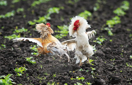 two jaunty rustic rooster fighting spread its wings and feathers and flying high on the farm yard Lizenzfreie Bilder