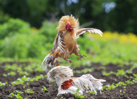 two cocks fighting in the village in the garden kicking up dust and feathers
