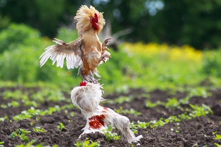 two formidable cock fight in a village, widely waving wings