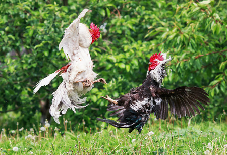 black and white roosters locked in battle taking off waving feathers and wings on the summer farm yard