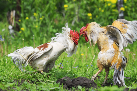 cocky red rooster pecks of white in the head during a fight on the farm