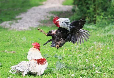 evil rivals of the village cocks started a fight at the summer yard Lizenzfreie Bilder