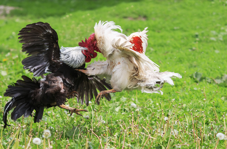the two rivals fight evil rooster pecking and flapping the wings and paws Stock Photo - 80433360