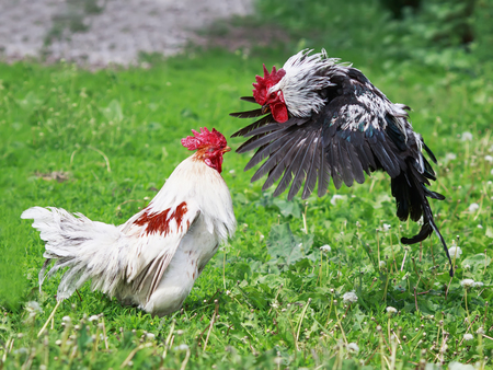 a pair of rivals fighting cocks funny flying and flapping the wings, feathers and legs on the grass Stock Photo
