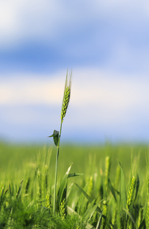young green ripening spikelets with grains on the background of blue sky