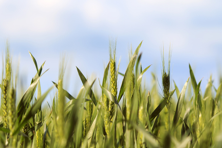 summer agricultural field with young green ripening ears of grain on a blue sky background