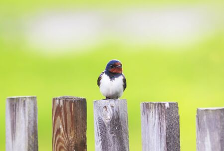portrait of a cute bird barn swallow sitting on an old wooden fence in the summer