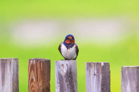 beautiful portrait of nice bird barn swallow sitting on an old wooden fence Sunny day Stock Photo