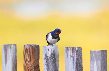 portrait of a cute bird barn swallow sitting on an old wooden fence in the summer sun