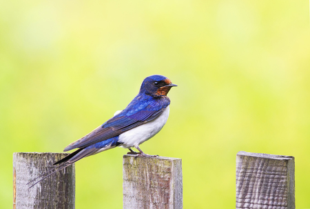 beautiful portrait of nice bird barn swallow sitting on an old wooden fence Sunny day Lizenzfreie Bilder
