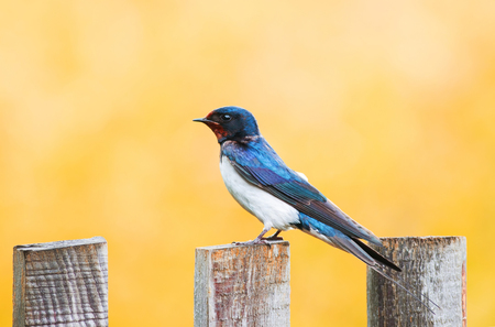 little funny bird, the barn swallow is sitting on an old wooden fence on Sunny summer day